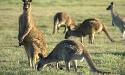 Kangaroo Pet Dog Treats