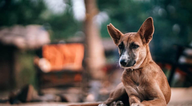 Kangaroo Chews for Dogs