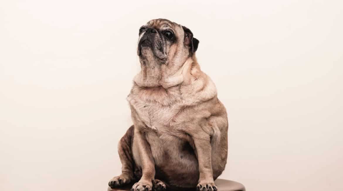 The Best Treats for Overweight Dogs